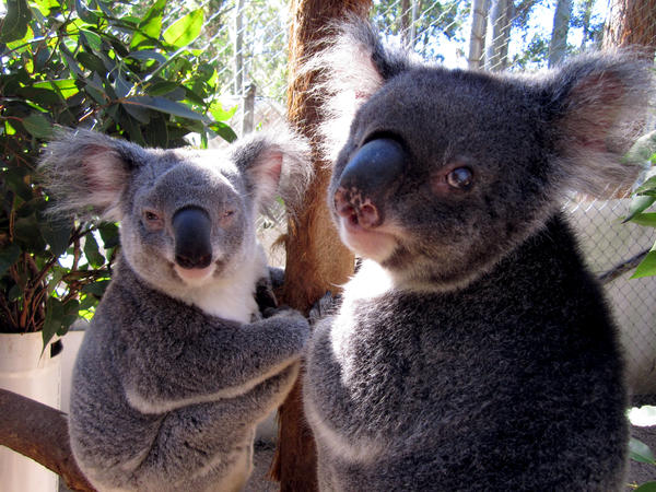 Two blind koalas are in permanent care at Friends of the Koala in Lismore, Australia.