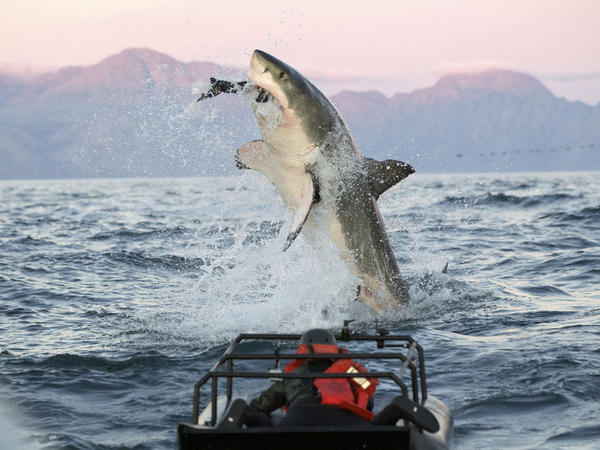 """In a scene from the """"Shark Week"""" show <em>Air Jaws Apocalypse</em>, a great white shark goes after a seal."""