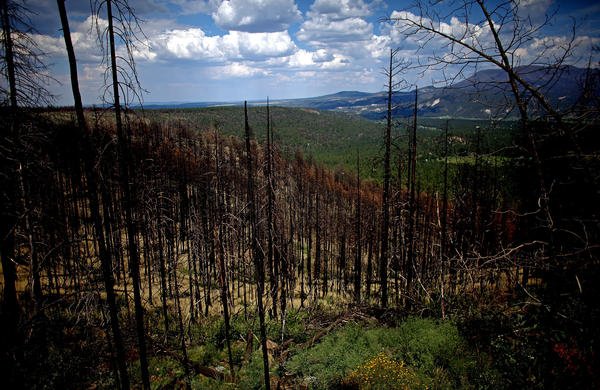 Last year's Wallow Fire, the largest in Arizona history, barreled through the Apache-Sitgreaves National Forests, in the east-central part of the state. The forests are now being thinned to reduce the threat posed by future wildfires.