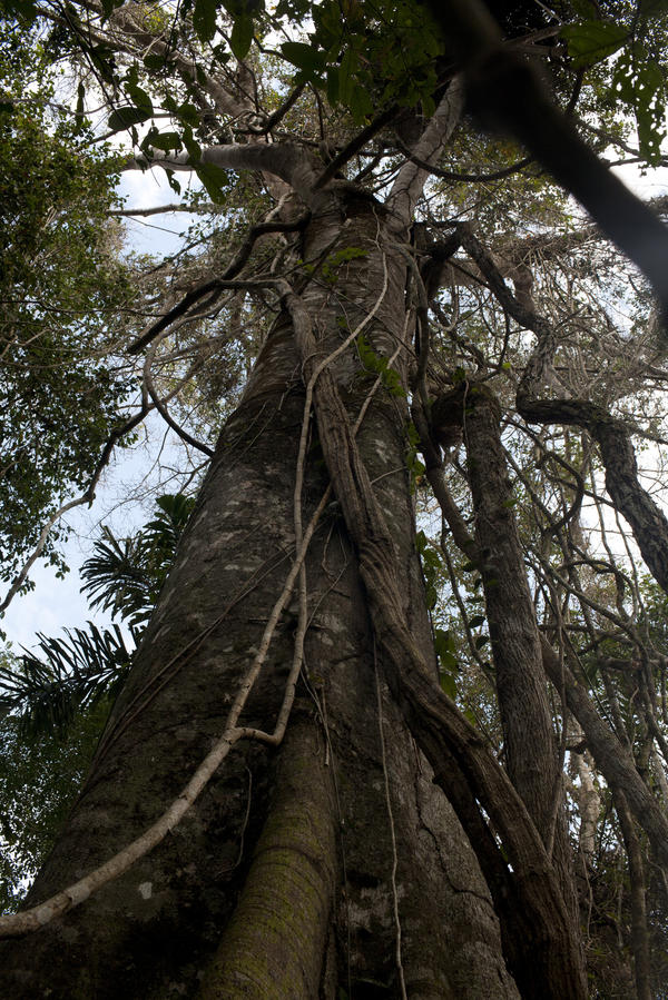 Every year in Bolivia, a swath of forest two-thirds the size of Delaware is cleared of trees. The trees range from silk-cotton hardwoods and fig trees to ceibas — some of them 80 feet tall and decades old.