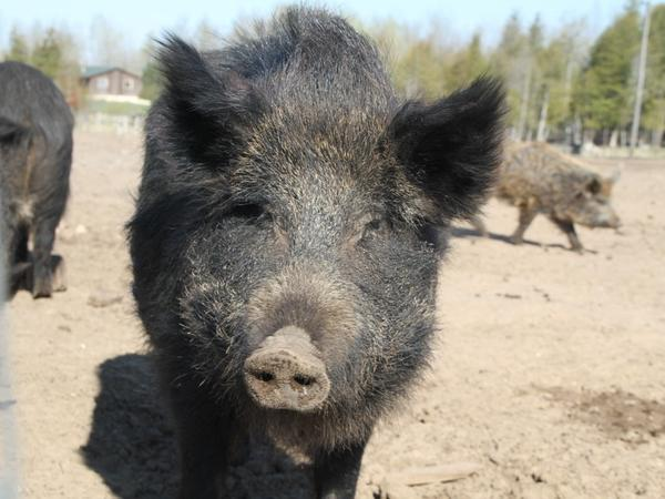A Russian sow on Mark Baker's farm. Four other parties have joined Baker's lawsuit against the Michigan Department of Natural Resources.