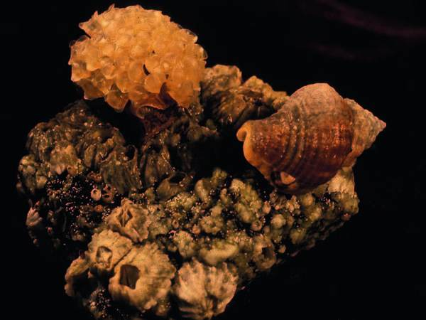 A male <em>Solenosteira macrospira</em>, left, carries snail eggs on its shell. But not all of the eggs were fertilized by him. Females, like the one on the right, deposit the eggs into papery capsules and attach them to the males' shells.