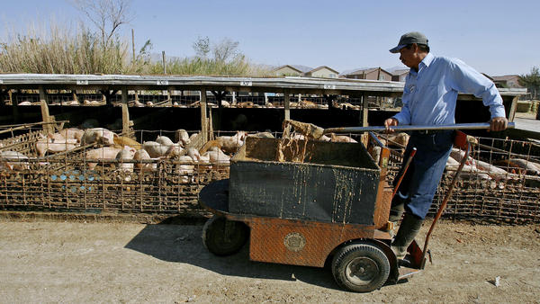 Farm worker Jesus Francisco Cayetano feeds pigs a slop made from food scraps from casinos near North Las Vegas, Nev. in 2006.
