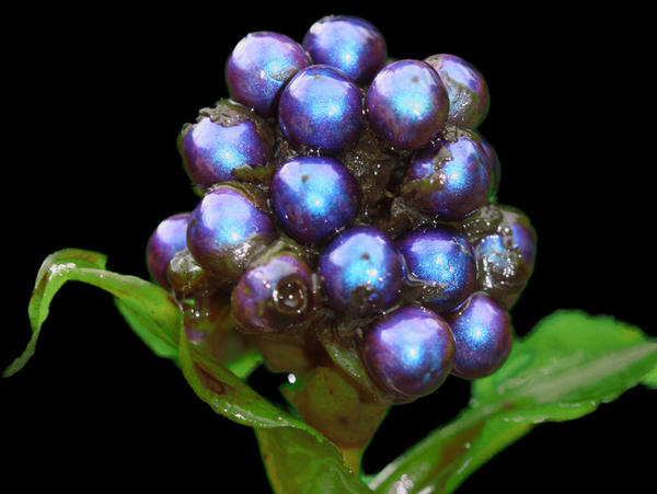 The shiny blue berries of the tropical <em>Pollia condensata</em> plant rely on their looks, not nutritional content, to attract birds to spread their seeds.