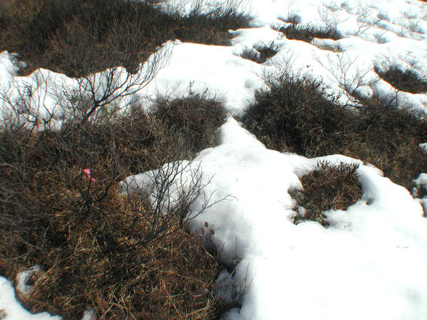 This 2005 photo, released by the University of Alaska, Fairbanks, shows how snow-covered Alaskan tundra reflects more light than melted areas. Melting snows means the land can absorb and store more heat and solar energy.