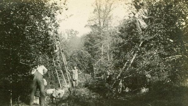 Harvest time at the Doud family farm in Ohio in 1916 before dwarf apple trees were common in the U.S.
