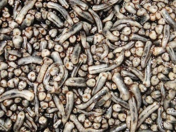 The fly larvae in the AgriProtein factory feed on cow blood and bran.