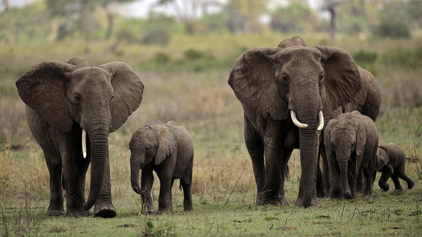Tanzania has been identified as the leading exporter of illegal ivory in recent years. An estimated 10,000 elephants are being slaughtered in the country annually. Here, elephants walk in the Serengeti National Reserve in northern Tanzania in 2010.