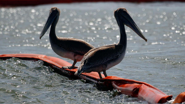 July 2010: Two pelicans sit on booms protecting Queen Bess Island, La., from oil that spilled after the Deepwater Horizon rig exploded in April.