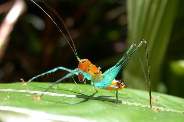 <em>Arachnoscelis magnifica</em>