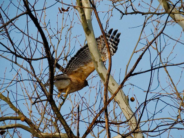 The Loudoun County birders found a total of 67 species, including this red-shouldered hawk.