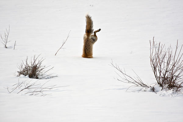 """With his exceptional hearing, a red fox has targeted a mouse hidden under 2 feet of crusted snow. Springing high in the air he breaks through the crusted spring snow with his nose, and his body is completely vertical as he grabs the mouse under the snow."""