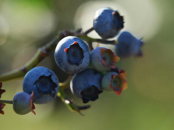 Regular consumption of blueberries, such as these found at Butler's Orchard in Maryland, may prevent heart attacks in middle-aged women.