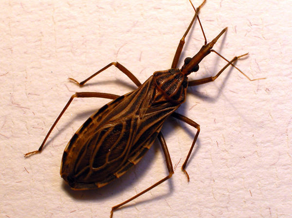Don't let the name fool you. The kissing bug, or <em>Rhodnius</em> <em>prolixus,</em><em> </em>transmits the Chagas parasite when it bites someone's face.