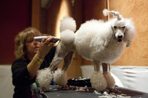 Leslie Simis trims her poodle Sharona's fur at the doggie spa, getting her ready for the big show.