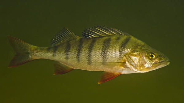 Perch exposed to the anxiety drug oxazepam were more daring and ate more quickly than fish that lived in drug-free water.