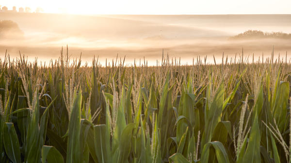 A corn field is shrouded in mist at sunrise in rural Springfield, Neb.
