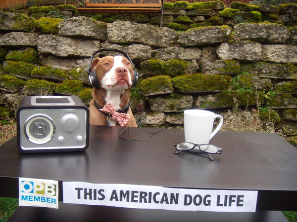 """Sparky listens to today's theme of<em> This American</em> (Dog) <em>Life</em> on his NPR station KOPB in Portland, Oregon."""