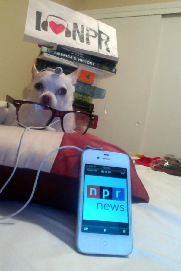 """""""Fifi just isn't like other Chihuahuas in town. This Oklahoma born native loves the dog beaches in Southwest Florida and among other things tuning into NPR (WGCU; WMKO) in her private library."""""""