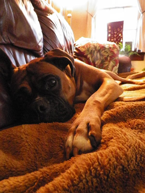 """""""This is Mickey, a full-blooded boxer and lounger with a perpetual look of sad, puppy eyes aimed at making you feel terrible about going anywhere and not bringing her with you. (It's all an act.) Her (and my) favorite NPR station is WOSU in Columbus, Ohio."""""""