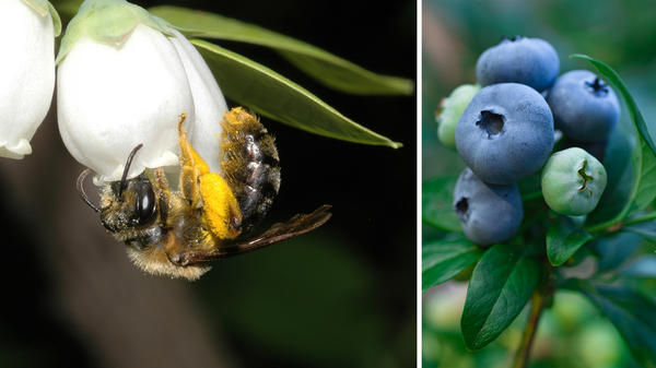 Wild bees, such as this Andrena bee visiting highbush blueberry flowers, play a key role in boosting crop yields.