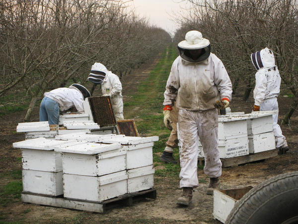 Hired beekeepers work to pollinate an almond orchard near Snelling, Calif. Wild bees play a critical role in helping honeybees pollinate crops, but they often can't survive on modern monoculture farms.
