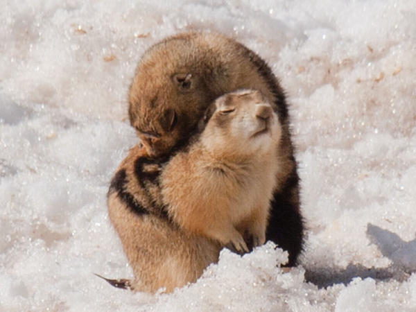 Prairie dogs engage in grooming behavior to remove ticks, mites and fleas that might carry disease.