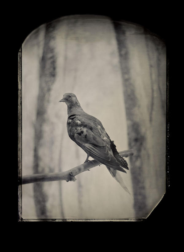 Billions of passenger pigeons once filled the skies of eastern North America. Martha, the last one, died at the Cincinnati Zoo in 1914. Geneticists now think they could resurrect the species. <em>Taxidermic specimen, Smithsonian Institution's National Museum of Natural History, Washington, D.C.</em>