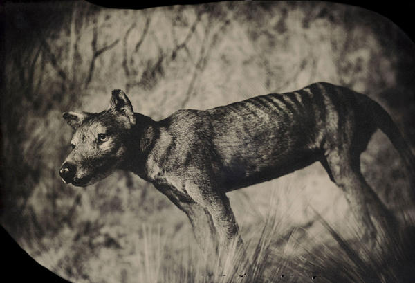 Though it looked like a wolf and was called a Tasmanian tiger, the thylacine was actually a marsupial — a relative of kangaroos and koalas. By the 1930s it had been hunted to extinction. <em>Taxidermic specimen, American Museum of Natural History, New York</em>