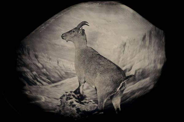 The bucardo, or Pyrenean ibex, lived high in the Pyrenees until its extinction in 2000. Three years later, researchers attempted to clone Celia, the last bucardo. The clone died minutes after birth. <em>Taxidermic specimen, Regional Government of Aragon, Spain</em>