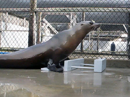Ronan, a 3-year-old female sea lion, has learned to keep a beat, something researchers previously thought was tied to vocal mimicry.