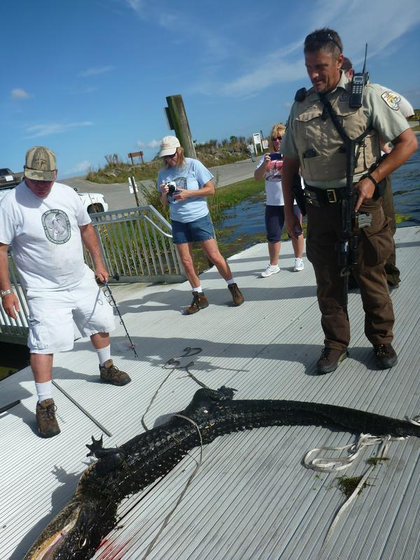A Fish and Wildlife Service team caught and killed an alligator after the animal attacked a 6-year-old boy Friday. The boy survived with only incidental wounds.