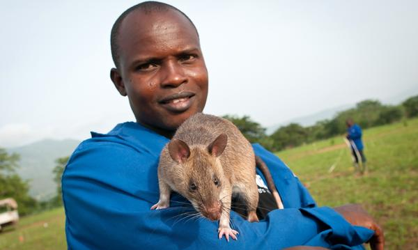 Abdullah Mchumvu has been training African giant pouched rats for more than a decade in Morogoro, Tanzania.
