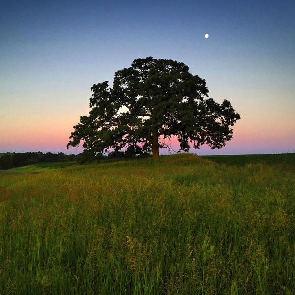 """June 6, 2012. Dawn light creates an enchanted feeling as the moon sets beyond """"That Tree."""""""