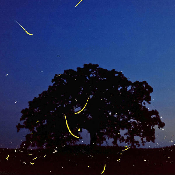 """July 2, 2012. In a timed exposure captured on an iPhone 4S using the iPhone app SlowShutter, the flight paths of fireflies leave yellow brush strokes as they fly in and around """"That Tree"""" at dusk."""