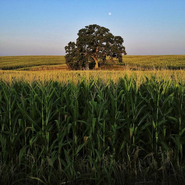 "Aug. 4, 2012. Summer corn grows tall around ""That Tree."""