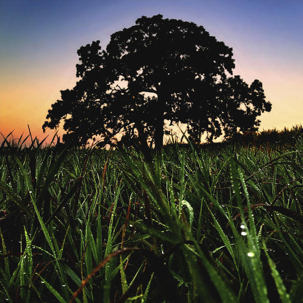 """Sept. 6, 2012. Heavy dew drops cling to the grass growing at the base of """"That Tree."""""""