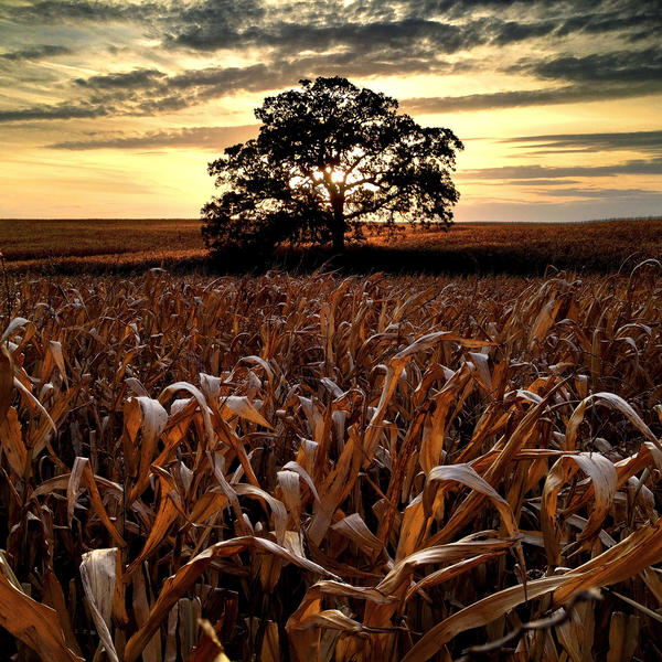 """Oct. 9, 2012. """"In what is probably one of my last photographs of 'That Tree' with corn still standing in the field, I wanted to make one last sunset photo before the harvest."""""""