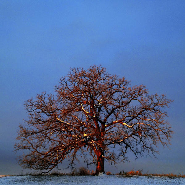 """Dec. 11, 2012. With snow clinging to its branches from an evening snowstorm, the first light of day paints """"That Tree"""" with a crimson light against a cold, blue sky."""