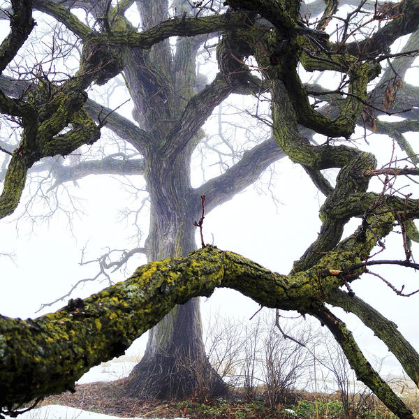 """Jan. 11, 2013. Normally hidden by the shady green canopy, the bare branches and today's thick, misty light added drama to the scene by showcasing all of the moss and lichen thriving on the bark of """"That Tree."""" It """"truly serves as an oasis nurturing an incredible array of living things."""""""