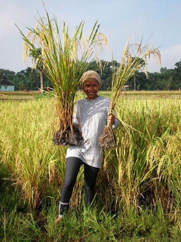 "A farmer in East Java, Indonesia, holds up rice grown in a ""system of rice intensification"" on the left, and non-SRI rice on the right."