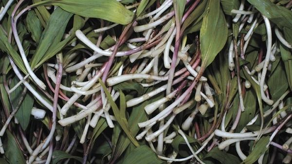 Ramps, or wild leeks, are a member of the lily family and resemble scallions with their wide leaves and small, white bulbs tinged a rusty red.