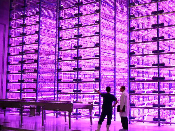 """This """"pinkhouse"""" at Caliber Biotherapeutics in Bryan, Texas, grows 2.2 million plants under the glow of blue and red LEDs."""