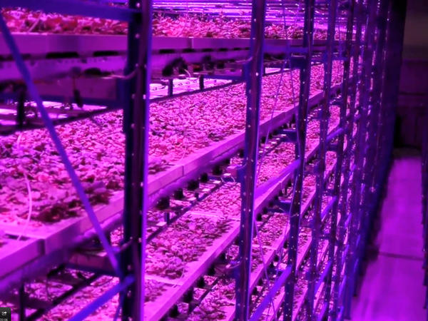 Plants at Caliber Biotherapeutics grow under blue and red LEDs, with wavelengths of light that match those that get absorbed by the photosynthetic machinery.