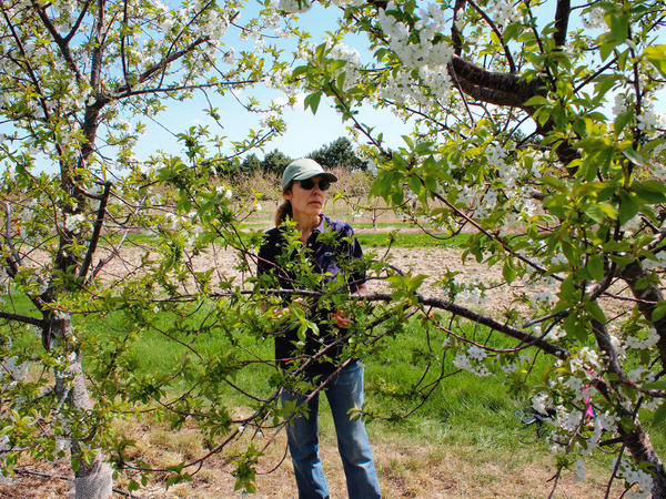 Amy Iezzoni, a fruit breeder at Michigan State University, traveled to Eastern Europe and the countries of the former Soviet Union to collect many different types of cherry trees.