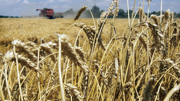 Genetically modified wheat has been discovered growing in a field in Oregon. GMO wheat is not approved for sale in the U.S. Above, a wheat field in Arkansas.