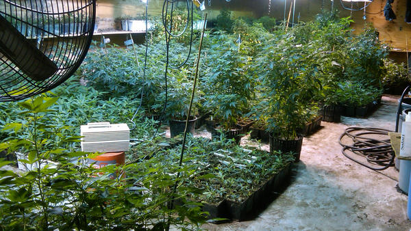 A photograph taken on May 20, 2013, by the DEA Strike Force shows some of the marijuana plants the agency says were grown by a woman from a wealthy New York suburb, in a warehouse in the Queens borough of New York.