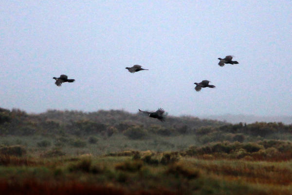 A sage grouse flock takes wing in the early morning in the valley.