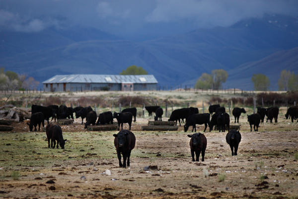 A herd of cattle belonging to rancher Alan Martinell is penned up in its winter quarters outside the valley. In the spring Martinell will move the herd to the valley to graze. Ranchers usually consider sagebrush a nuisance because it can crowd out the grasses and plants cattle like to eat.