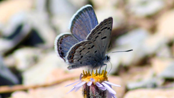 The Mount Charleston blue butterfly is a rare species found only in a few small areas high up in Nevada's Spring Mountains.
